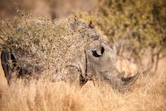 White Rhinoceros (Ceratotherium simum). The White Rhinoceros or Square-lipped rhinoceros (Ceratotherium simum) is one of the five species of rhinoceros that Stock Photo