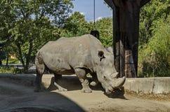 White Rhinoceros or Ceratotherium Simum walk in park. Sofia, Bulgaria Stock Photography