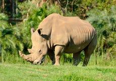 White rhinoceros Ceratotherium simum. Among green vegetation Stock Photos