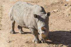 White rhinoceros (Ceratotherium simum). Wildlife Royalty Free Stock Images