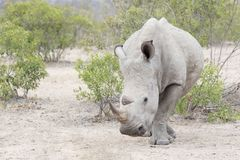 White rhinoceros eating, front view. royalty free stock photo