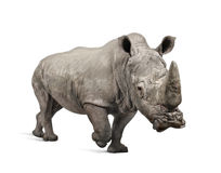 White Rhinoceros charging - Ceratotherium simum ( Stock Photo