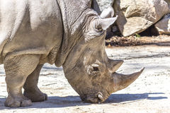White Rhinoceros closeup. Close up of White Rhinoceros eating Royalty Free Stock Images