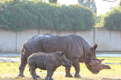 White Rhinoceros cow and calf walking together Stock Image