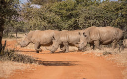 White Rhinoceros Royalty Free Stock Photo