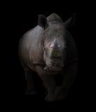 White rhinoceros in dark background Stock Images