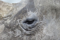 White rhinoceros, Diceros simus Royalty Free Stock Image