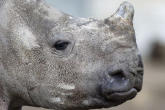 White rhinoceros, Diceros simus Stock Images