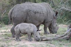 White rhinoceros, Diceros simus Stock Photo