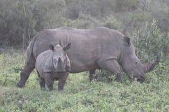 White rhinoceros, Diceros simus Royalty Free Stock Images