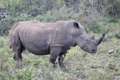 White rhinoceros, Diceros simus Stock Photos