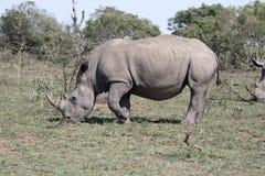 White rhinoceros, Diceros simus Royalty Free Stock Photo