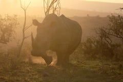 White rhinoceros, Diceros simus Stock Images