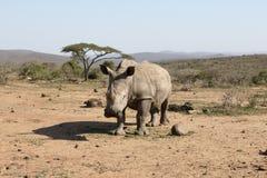 White rhinoceros, Diceros simus Royalty Free Stock Photos