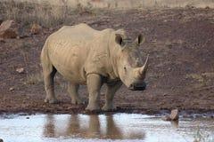 White rhinoceros, Diceros simus Royalty Free Stock Image