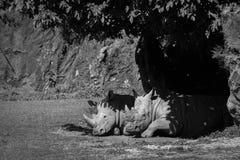 White rhinoceros dozing in shade in mono Royalty Free Stock Photo