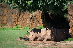 White rhinoceros dozing in shade of tree Stock Image