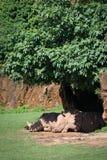 White rhinoceros dozing in shade under bush Stock Images