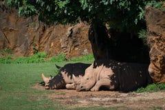 White rhinoceros dozing in shade under tree Royalty Free Stock Image