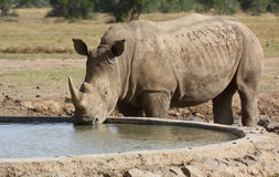 White rhinoceros drinking Royalty Free Stock Photos