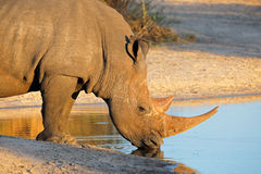 White rhinoceros drinking Royalty Free Stock Photography