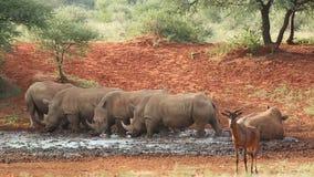 White rhinoceros drinking water stock video footage