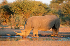 White rhinoceros drinking water Stock Image