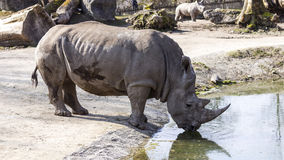 White Rhinoceros Stock Photography