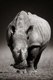 White Rhinoceros  in due-tone Royalty Free Stock Photography