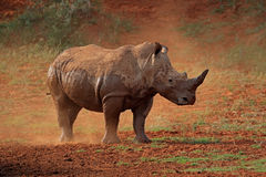 White rhinoceros in dust Stock Photography