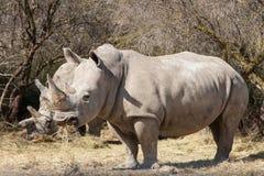 White Rhinoceros eating Stock Photo