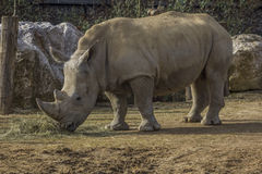 White Rhinoceros eating Stock Photo