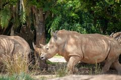 White rhinoceros eating in the wild royalty free stock image