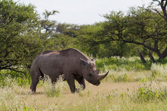 White Rhinoceros at Etosha National Park Stock Images