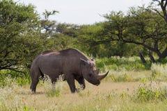 White Rhinoceros at Etosha National Park. Namibia, Africa Stock Images