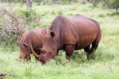 White rhinoceros family Stock Photography