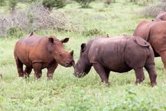 White rhinoceros family Stock Photos