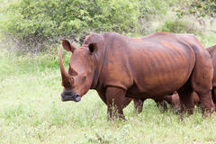 White rhinoceros family Royalty Free Stock Photography