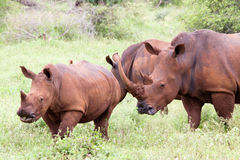 White rhinoceros family Royalty Free Stock Photo