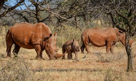 White Rhino Family. A White Rhinoceros family in Southern African savanna stock image