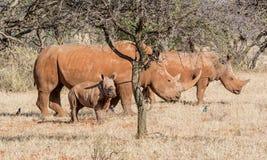 White Rhino Family. A White Rhinoceros family in Southern African savanna stock photo