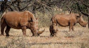 White Rhino Family. A White Rhinoceros family in Southern African savanna royalty free stock photos