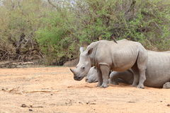 White Rhinoceros Stock Images