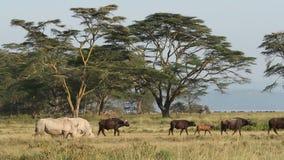 White rhinoceros feeding stock video
