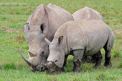 White rhinoceros feeding Royalty Free Stock Photos