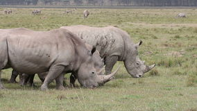White rhinoceros feeding Royalty Free Stock Photo