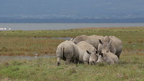 White rhinoceros feeding Stock Images