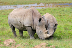 White rhinoceros feeding Royalty Free Stock Image