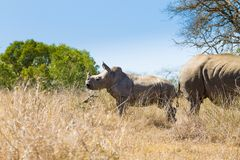 White rhinoceros with puppy, South Africa Royalty Free Stock Photos