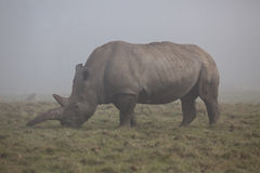 White Rhinoceros in Fog Royalty Free Stock Photography